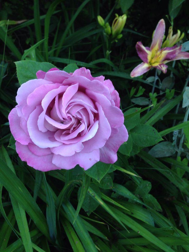 Ljuva engelska rosor