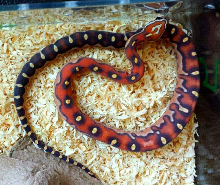 Pet Snake Funny