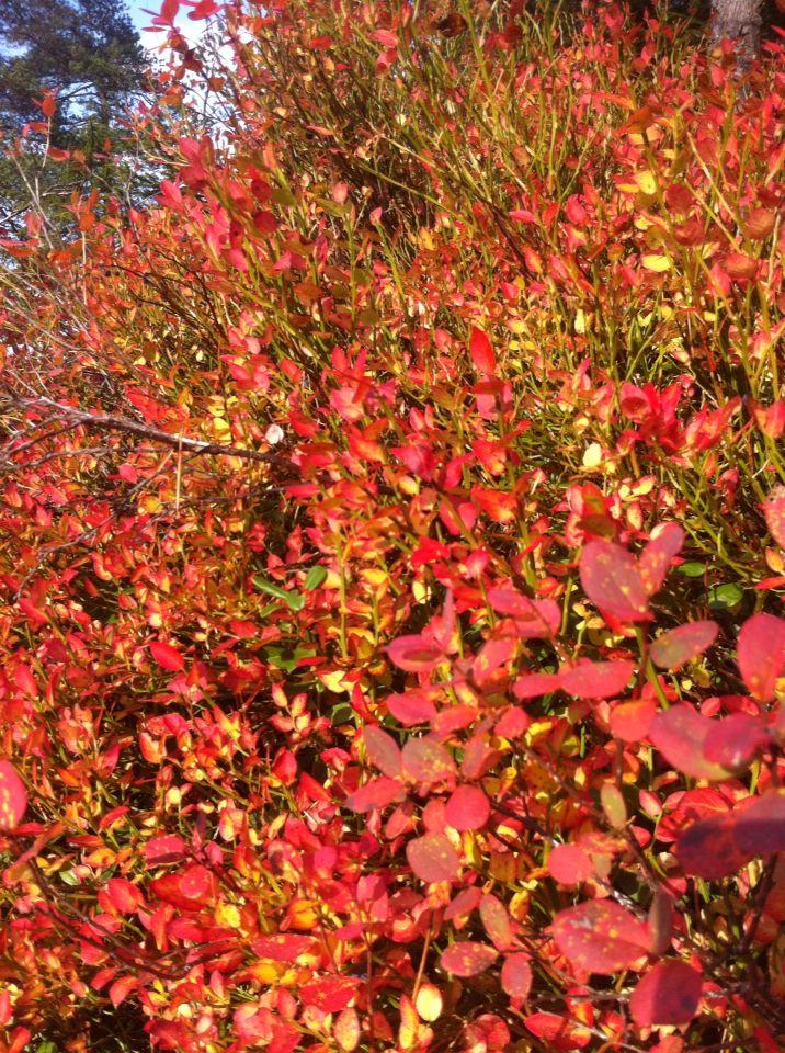 Blåbärsbuske i alla dess färger. Hösten är härlig!