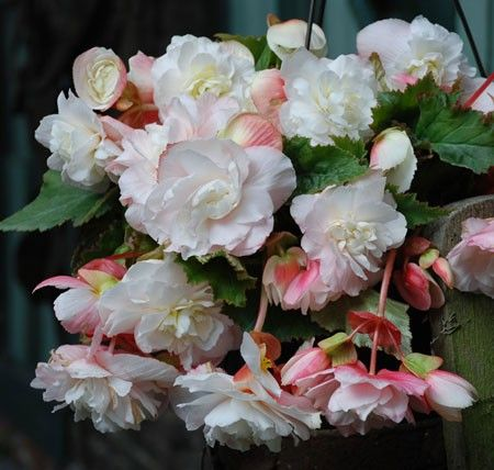 Begonia 'Fragrant white'