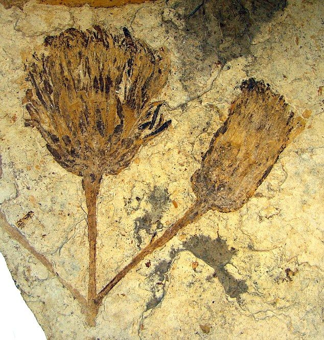 Beautifully preserved: The fossil, dated at more than 50 million years old, was discovered in Patagonia and immediately evoked memories of Van Gogh's masterpiece  It is believed to belong to the Asteracaea family, which includes daisies, sunflowers and dandelions and is the most diverse group of flowering plants on Earth.