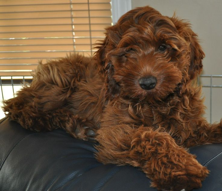 most comfy place in the house red australian labradoodle puppies   – Australian labradoodle puppies