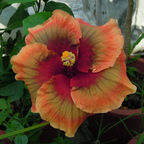 Hibiscus 'Rainbow Gift'