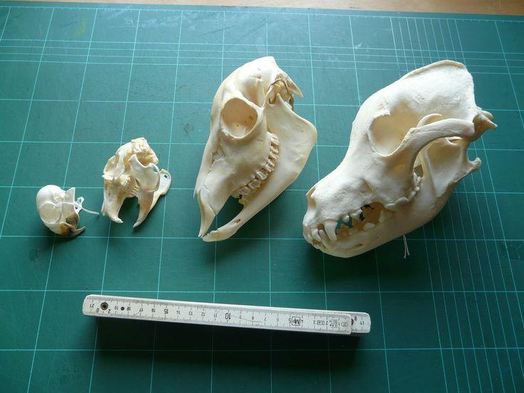 Skulls FOR SALE by CabinetCuriosities