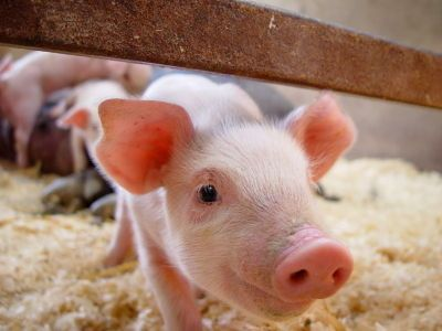 興味津々の豚の赤ちゃん
