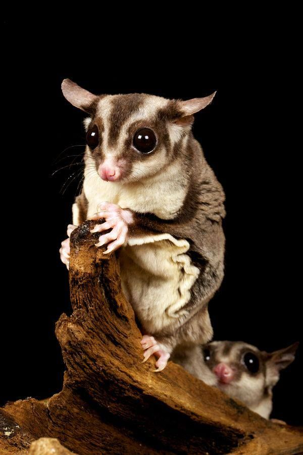 Sugar Gliders - Australia. They have become a popular exotic pet in the USA. They are so tiny they fit in a shirt pocket. But be careful if they are upset or nervous. Those little bitty teeth are like needles.