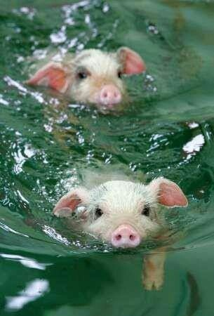 Animals pigs piglets swimming pool water