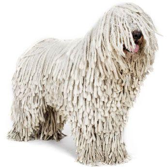 Komondor | AKC Recognized Dog Breeds | Pinterest