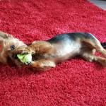Poppy The Yorkie Rescued From A Puppy Mill Is One Lucky Dog