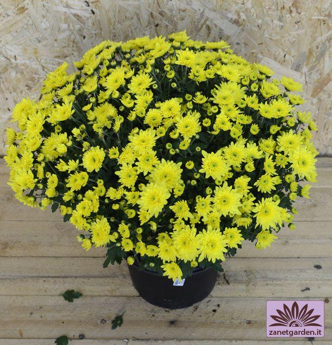 Vaso di crisantemi a margherita piante stagionali - Crisantemi in vaso ...