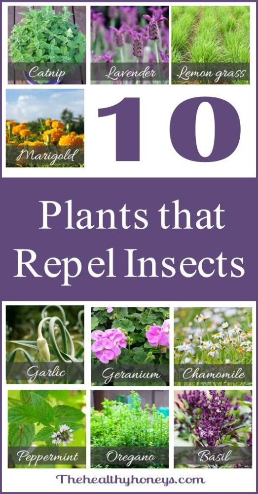 Top 10 plants that repel unwanted insects Insect