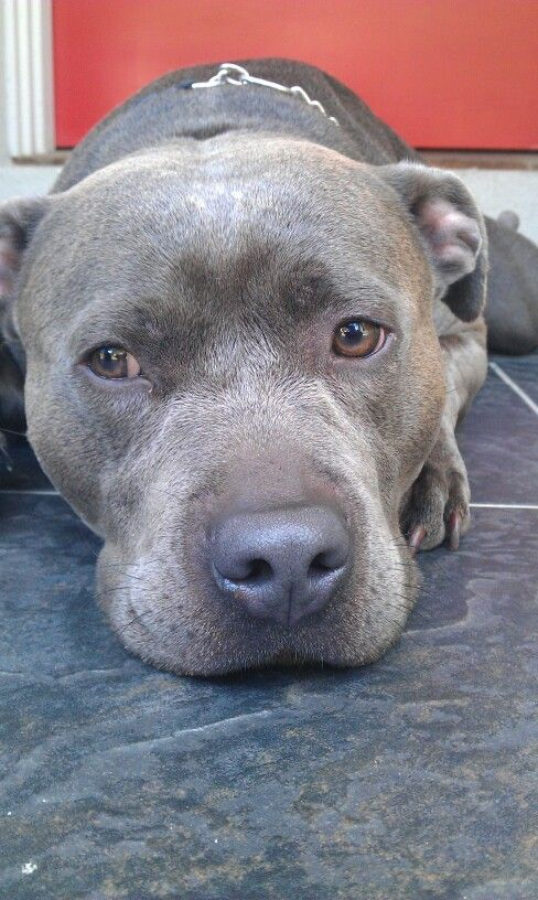 blue english staffordshire bull terrier best 25 blue english staffy ideas on pinterest 7181