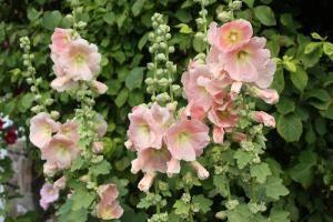 La rose trémière, Alcea rosea, est une plante vivace et rustique, dont les hautes tiges portent une profusion de fleurs durant tout l'été. Facile à…