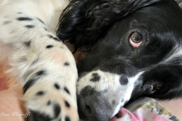 springer spaniel rescue | Pages