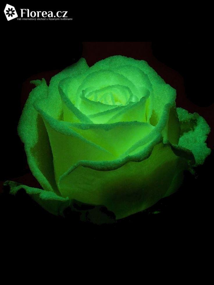 Svítící růže AVALANCHE GLOW 60cm (L),Hledáte netradiční dekoraci na tématický večírek? Vyzkoušejte svítící růže, které navodí, jakmile se zhasne, tu správnou atmosféru a doladí Vaší výzdobu k dokonalosti! Růže září po nasvícení na přímém nebo umělém světle. Co byste měli o svítících růžích Avalanche Glow vědět: pochází z dílny kreativní firmy VIP Roses patřící mezi top nizozemské pěstitele růží, pokrytafosforeskující barvou, použita čerstvá růže Avalanche, technologie má evropskou…