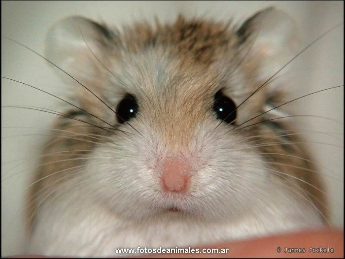 hamster roborowski - Buscar con Google | Roedores ...