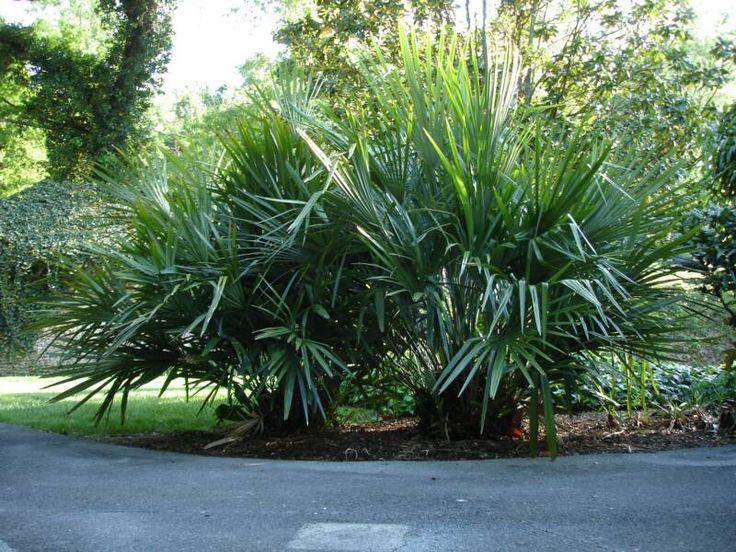 Needle Palm | mature clump of Needle palm seeds
