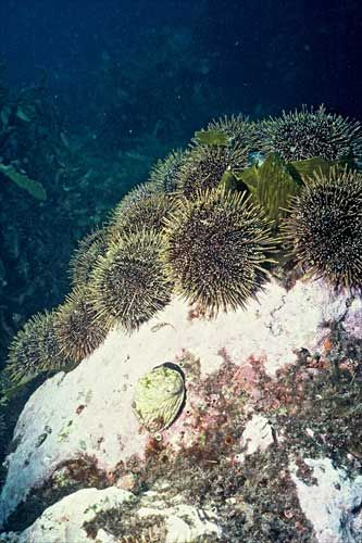 What do you call a collection of Kina or sea urchins?....  A Barren... There, you've just learned something new.....