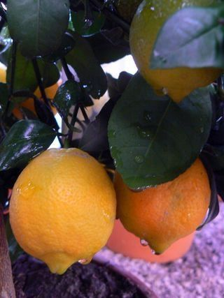 Rangpur lime > Tele gyönyörű gyümölcsökkel! (Citrus limonia): Citrusfélék | Ár: 9900.00 Ft