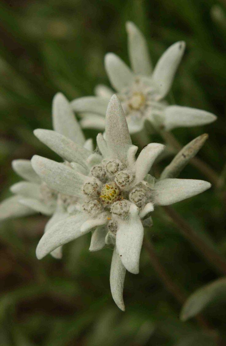 Les 224 meilleures images du tableau edelweiss sur pinterest belles fleurs fleurs blanches et - Coloriage fleur edelweiss ...