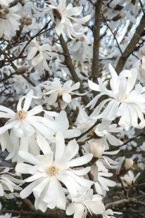 Star magnolia, a small tree with fragrant white flowers in the spring. Deciduous, and won't get much taller than 12-15' I love to pair it with the dwarf magnolia grandiflora 'Little Gem', which is evergreen and blooms in summer.