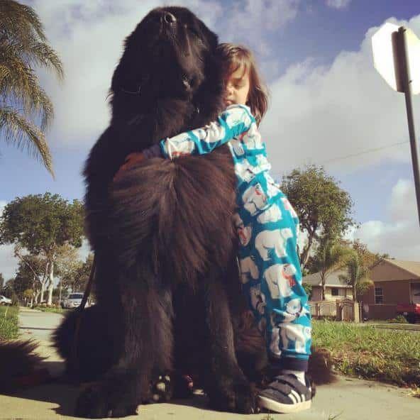 Terre-Neuve et enfant https://pagez.com/3532/33-facts-about-dogs