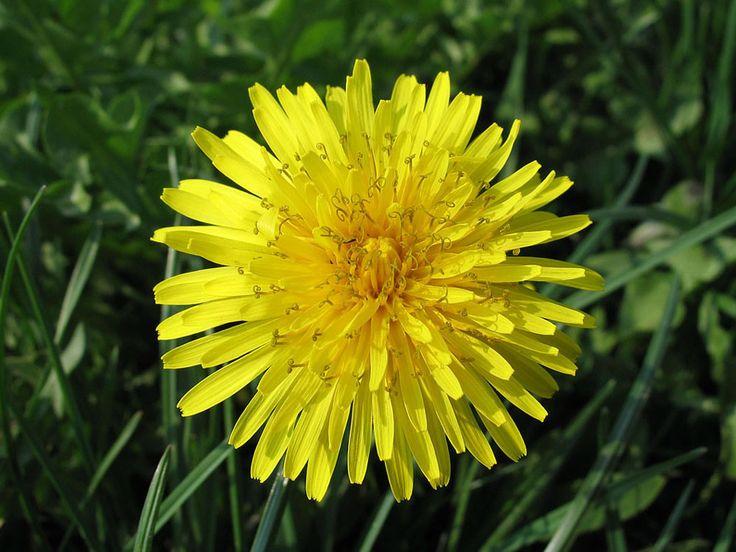 """Il tarassaco: guarisce, nutre e purifica  I nostri nonni lo chiamavano """"piscialetto"""" (perché è diuretico…), """"stella gialla"""" o """"dente di leone"""" (le foglie assomigliano ai denti di un carnivoro): è il tarassaco (Taraxacum officinale), pianta particolarmente utilizzata in fitoterapia per le sue numerose proprietà.  Il tarassaco, come il cardo, fa parte della famiglia delle Asteraceae: piante che viste dall'alto hanno la forma di una stella (aster = stella in latino)."""
