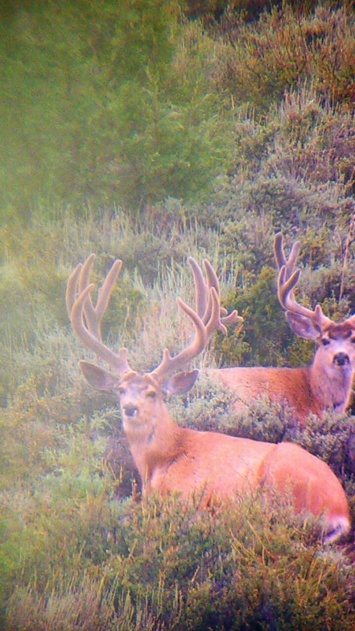 Big Velvet Mule Deer Anyone?