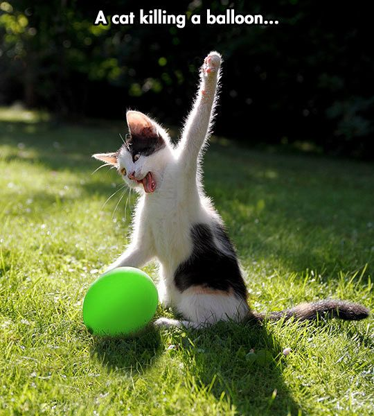 Delivering the fait accompli to the balloon...  #cats #balloons #funny
