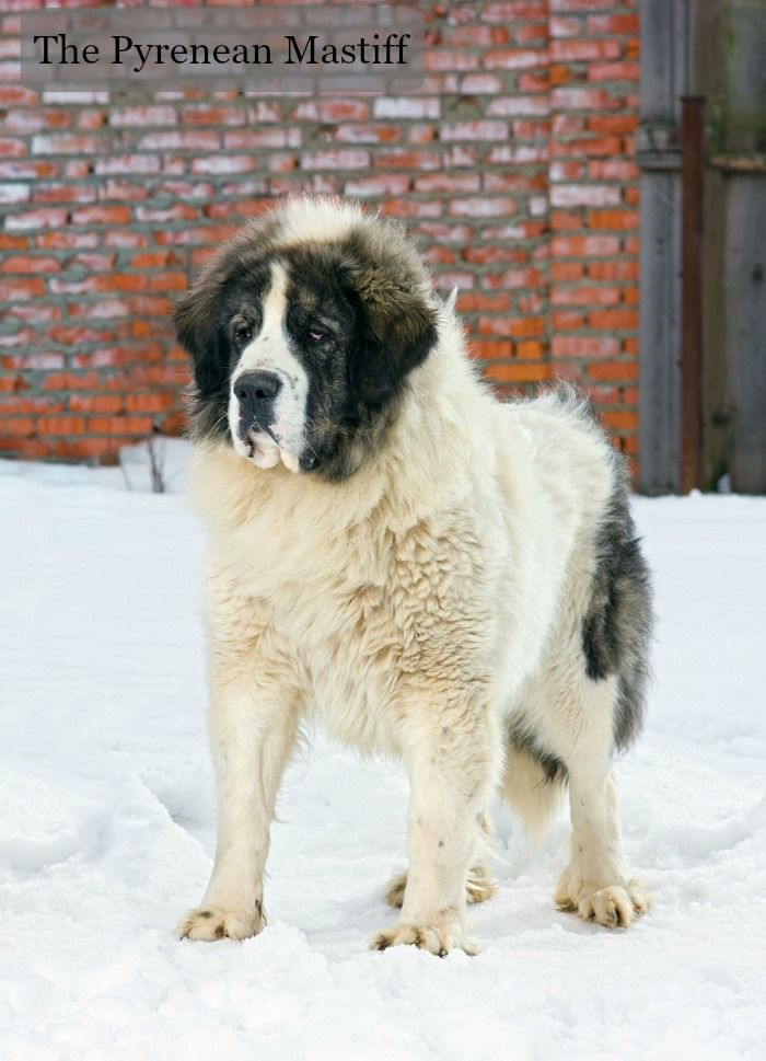 A big, fluffy dog with a calm and even temperament, the Pyrenean Mastiff is a super-sized softie.