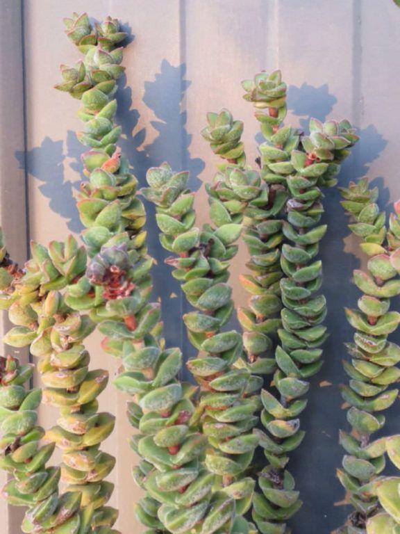 Crassula Jade Tower Succulents Planting Succulents Cacti
