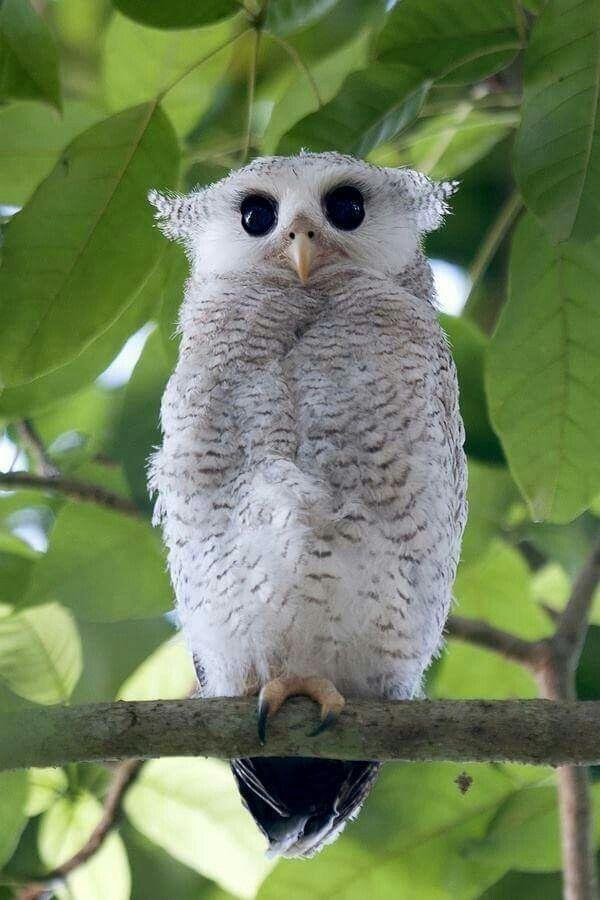 Barred Eagle-Owl, juvenile (Bubo sumatranus) ♡