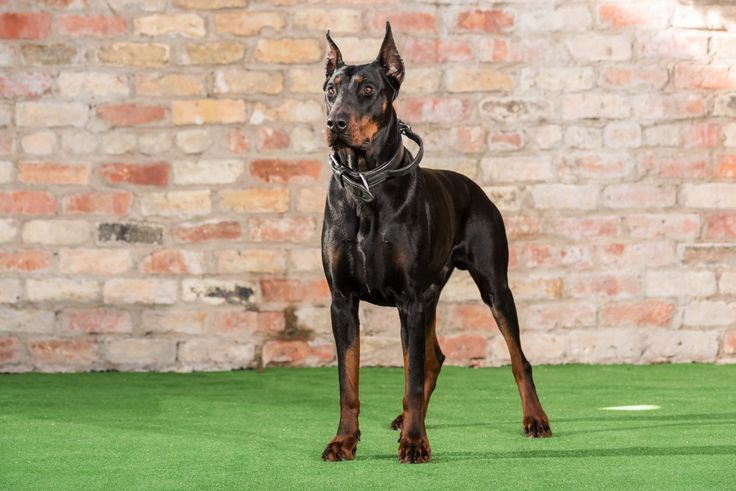 Huskar Dobermans for Sale, Born in June 2014 and Huskar is a powerful Doberman from excellent working lines. Call Now: 0785 8120 456 for details.