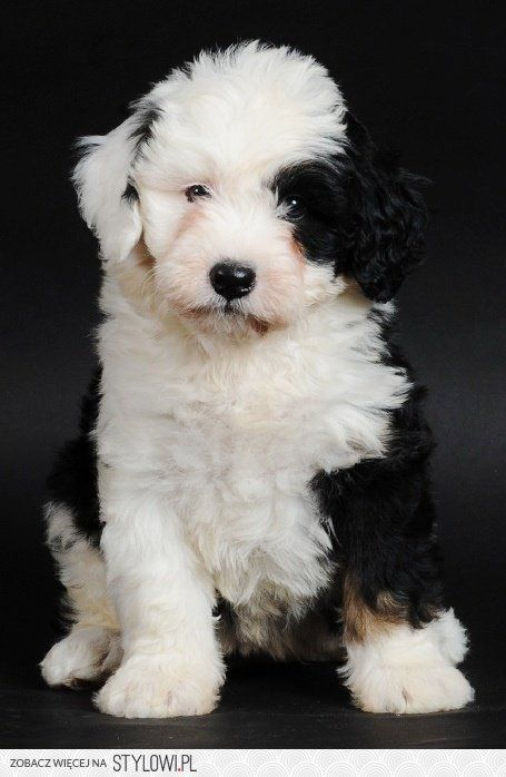 Spot is my name Mini Bernedoodle oh dear..the cuteness factor is off the charts!