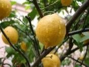 Yediveren Limon Fidanı 5 Yaşında http://www.fidanistanbul.com/urun/2646_yediveren-limon-fidani-5-yasinda-.html Fidan Satışı, Fide Satışı, internetten Fidan Siparişi, Bodur Aşılı Sertifikalı Meyve Fidanı Süs Bitkileri,Ağaç,Bitki,Çiçek,Çalı,Fide,tohum,toprak