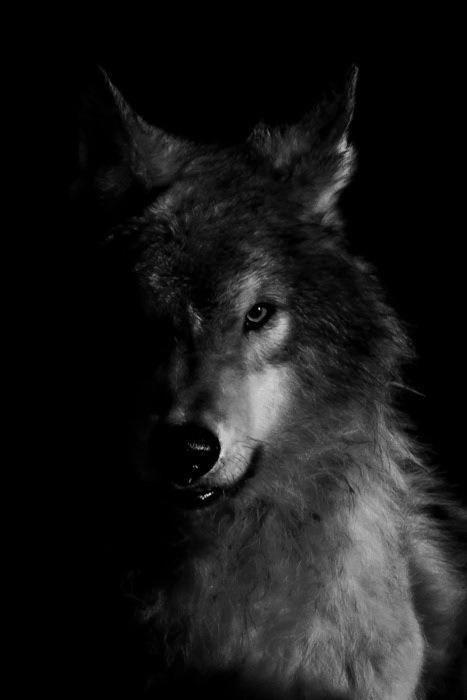 """""""When the long winter nights come on and the wolves follow their meat into the lower valleys, he may be seen running at the head of the pack through the pale moonlight or glimmering borealis, leaping gigantic above his fellows, his great throat a-bellow as he sings a song of the younger world, which is the song of the pack."""" Jack London"""