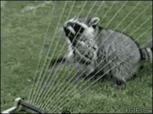 I just like the raccoon gif !!  Everything You Know About St. Patrick's Day Is Wrong