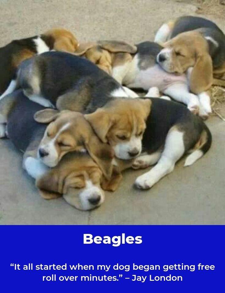 Beagle Dog Beaglegirl Beagles Training Beagle Beagle Hunting
