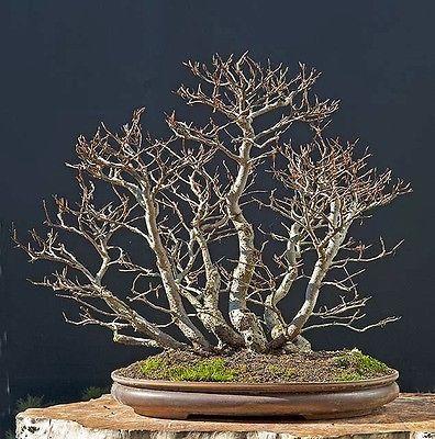 5 x pre - bonsai trees Fagus sylvatica European beech best offer