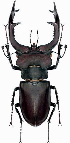 Stag beetle, Lucanus cervus. Sizes vary, the male ranges between 40 and 70 mm