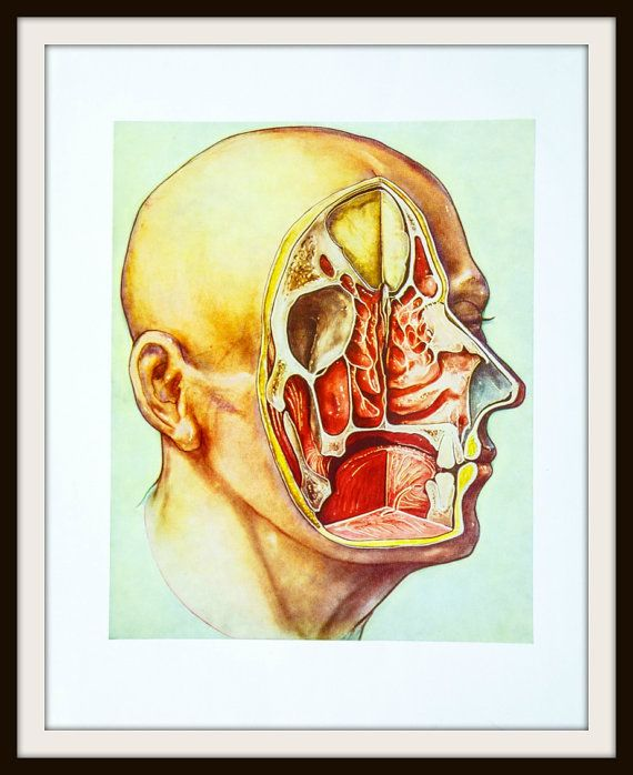 1967 Human Head Anatomy Illustration by Robert Wabnitz. Scientific Medical Print. Head cutout. Human Anatomy. Vintage Medical Illustration, Original illustration from the 1967 publication An Atlas of Head and Neck Surgery by John M. Lore. Illustration by Robert Wabnitz - Director of Medical Illustration, University of Rochester Medical Center.