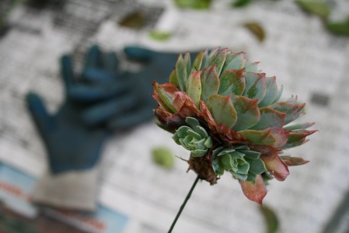 Diy Wedding Flowers Succulents : Succulent bouquet how to with pictures wedding diy