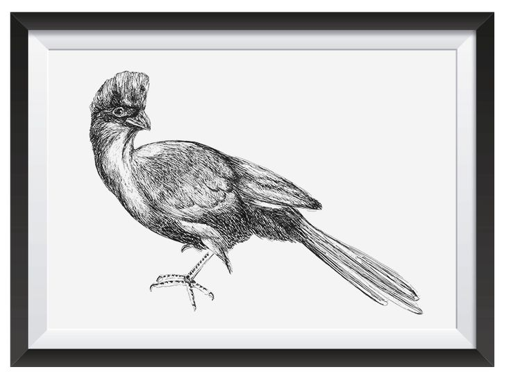 Purple Crested Turaco illsutrated with Pen by Nicoll van der Nest