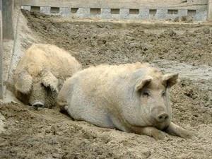 Typisch ungarisch: das Mangalica Wollschwein.