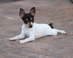 Toy Fox Terriers, like a lot of active and intelligent breeds, can learn to respond to numerous words.