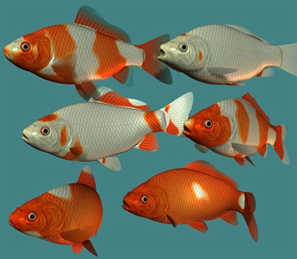 goldfish 3d model common goldfish by toucan