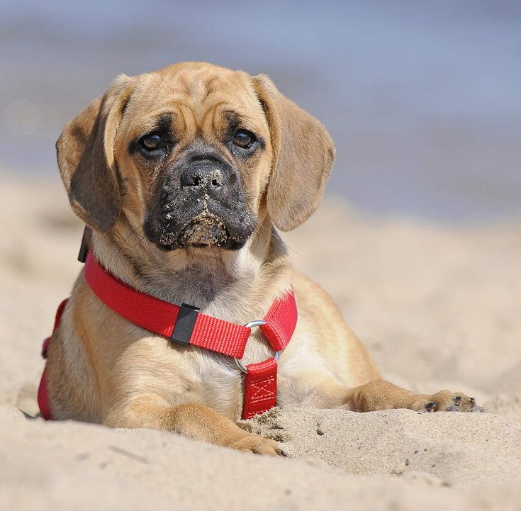 A complete guide to the puggle a pug beagle mix breed