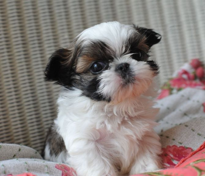 Cream And White Shih Tzu Puppy Male Ready Now Shih Tzu Puppy Shih Tzu Dog Puppies