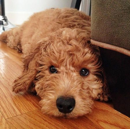 Samson the Goldendoodle.  And in this case it's a poodle mix.  Still love them because who couldn't love a lab?!!  Both are sweet doggies!!