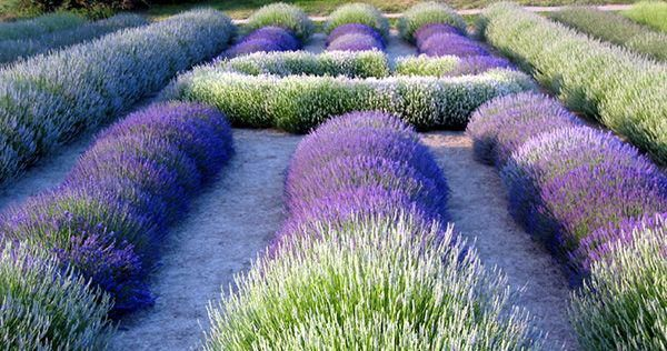 .: Essential Oil, Lavender Garden, Lavender Fields, Formal Gardens, Flower Beds, Lavender Oil, Beautiful Gardens, Dreams Gardens, Purple Gardens